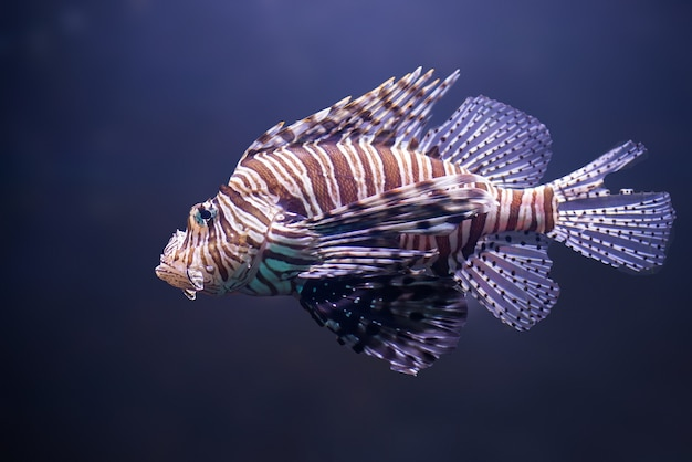 Feche acima do peixe-leão, pterois volitans