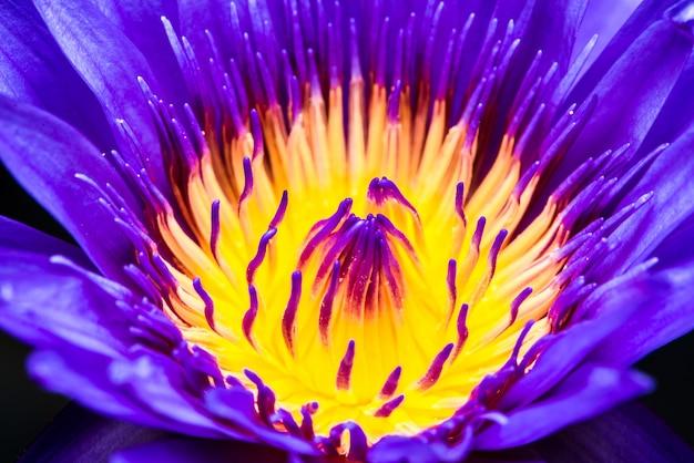 Feche acima do pólen bonito e das pétalas da florescência roxa da flor de lótus.