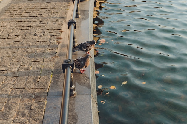 Feche acima do pombo que senta-se em um trilho da cerca por uma lagoa em um parque.