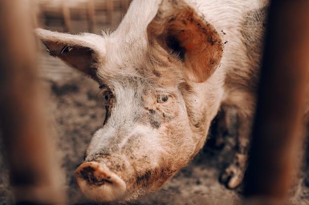 Feche acima do porco sujo que olha a cerca da calha ao estar em chiqueiro.