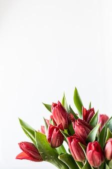 Feche acima do ramalhete vermelho das flores das tulipas e das folhas verdes no fundo branco, copie o espaço