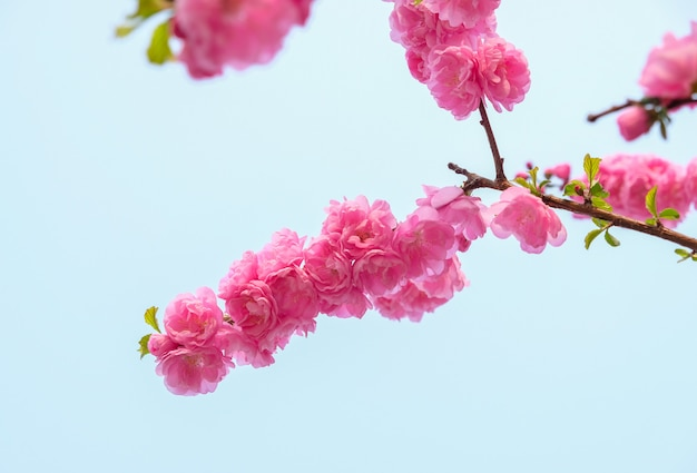 Feche acima do ramo da flor da flor da ameixa cor-de-rosa no céu azul na mola sazonal