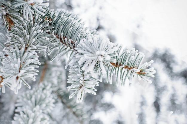 Feche acima do ramo de árvore do abeto na neve. fundo de natureza do inverno.