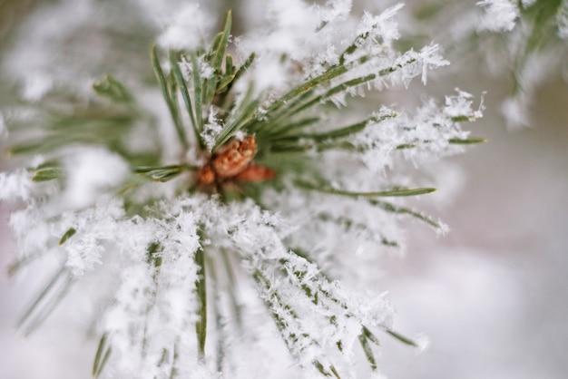 Feche acima do ramo de pinheiro na neve