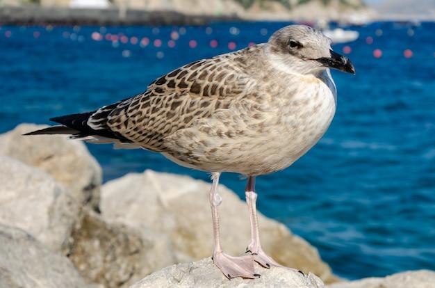 Feche acima do retrato de uma gaivota de mar que está na pedra em itália na ilha de capri.