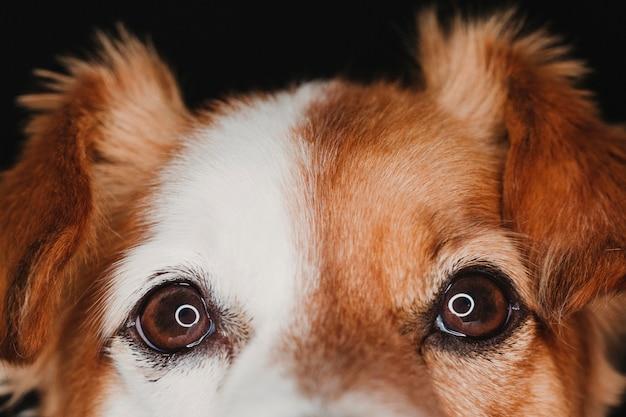 Feche acima do retrato olhos de um cão com reflexão conduzida do anel. tiro macro