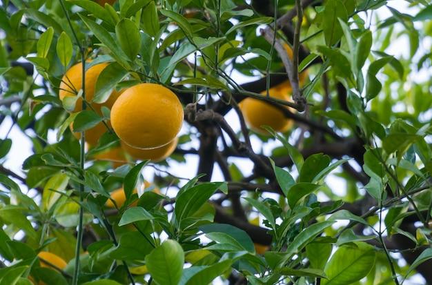 Feche acima do shogun amarelo maduro na árvore.