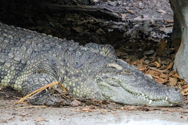 Feche acima do sono do crocodilo e descanse na caverna perto do rio em tailândia.