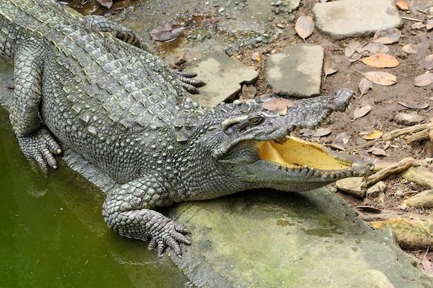 Feche acima do sono principal do crocodilo de sal no canal.
