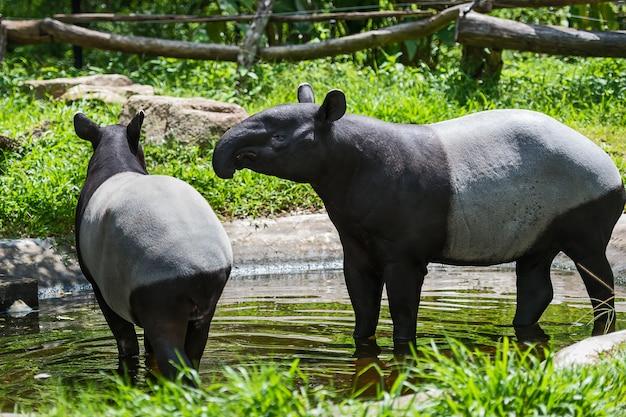 Feche acima do tapir malayan.