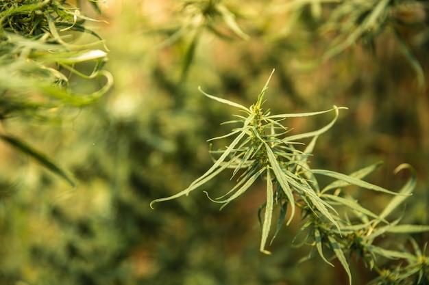 Feche acima do tiro das folhas do cannabis no jardim.