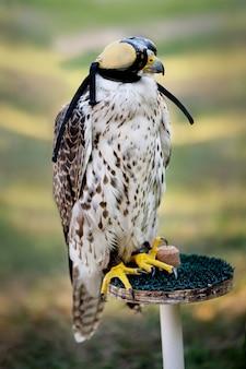 Feche acima do tiro de capuz de falcoaria weared falcão
