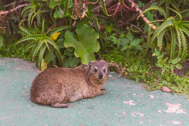 Feche acima do tiro de um hyrax ou dassie em knysna, áfrica do sul