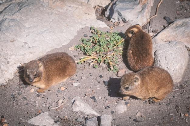 Feche acima do tiro de um hyraxes de rock de três bebês ou dassies em betty's bay, áfrica do sul