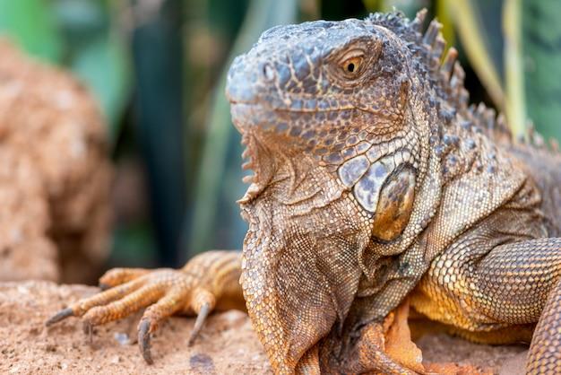 Feche acima do tiro de uma iguana alaranjada na paisagem desertic.