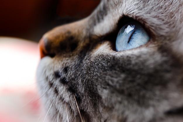 Feche acima do tiro do olho de gato azul