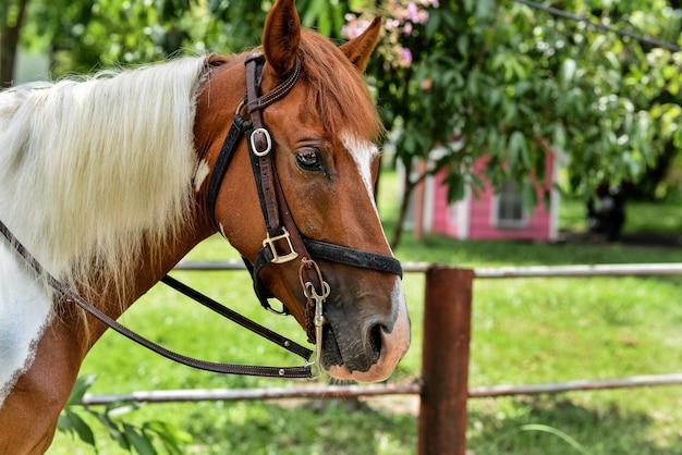 Feche acima do tiro principal do cavalo com as rédeas. cavalo vermelho com nariz branco e pêlo branco.