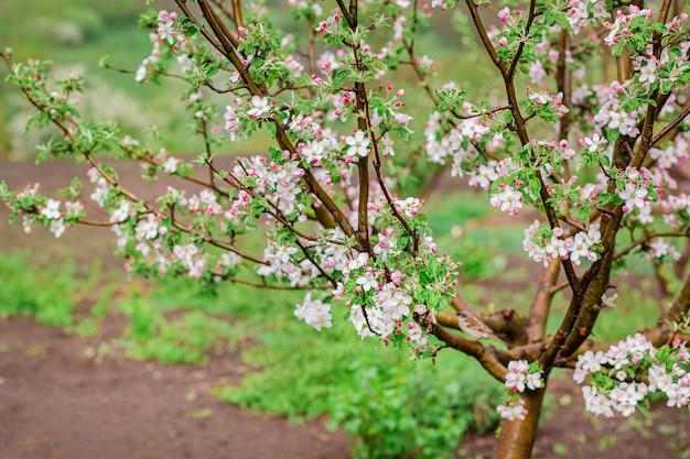 Feche acima dos botões de florescência da árvore de maçã no jardim. pomar de florescência no pôr do sol de primavera.