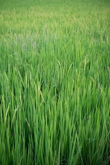 Feche acima dos campos verde-amarelos do arroz.