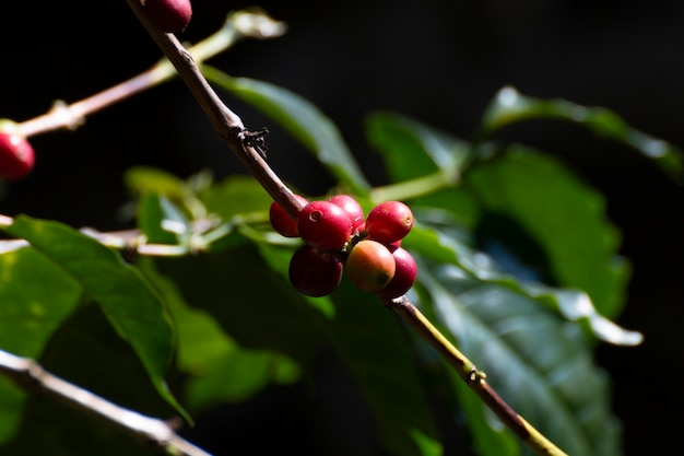 Feche acima dos feijões de café frescos na árvore.