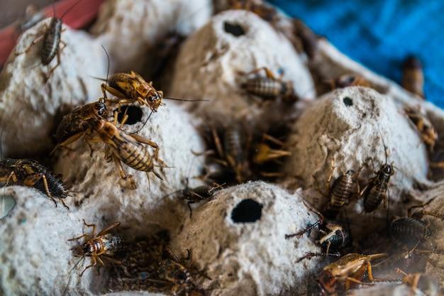 Feche acima dos grilos na exploração agrícola, para o consumo como o alimento e usado como a alimentação animal.