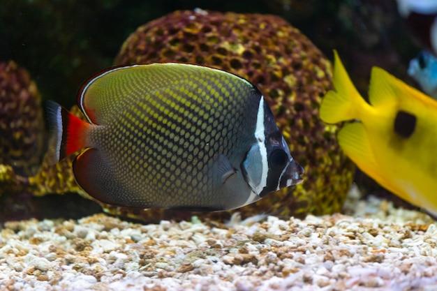 Feche acima dos peixes bonitos no aquário na decoração do fundo das plantas aquáticas.