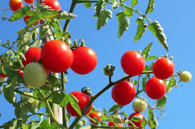 Feche acima dos tomates maduros vermelhos frescos que crescem no jardim vegetal.