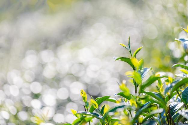 Feche acima e o foco seletivo às folhas macias do chá verde e borre o bokeh claro