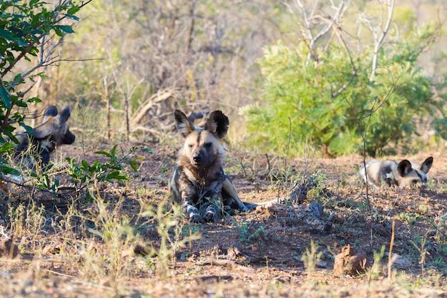 Feche acima e retrato de um cão selvagem ou de um lycaon bonito que encontram-se para baixo no arbusto. safari da vida selvagem no parque nacional kruger