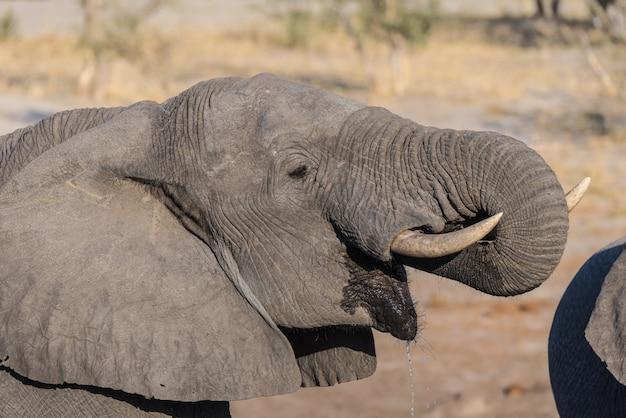 Feche acima e retrato de um elefante africano novo que bebe do waterhole.