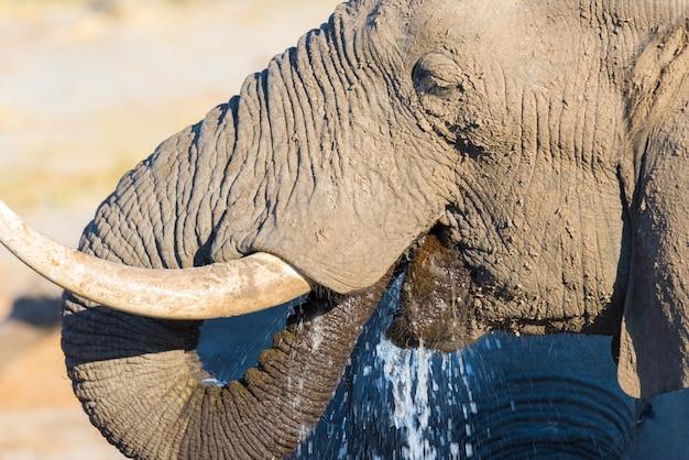Feche acima e retrato de um enorme elefante africano bebendo do poço de água. safari da vida selvagem no parque nacional kruger, o principal destino de viagem na áfrica do sul.
