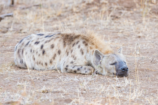Feche acima e retrato de uma hiena manchada bonito que encontra-se para baixo no arbusto.