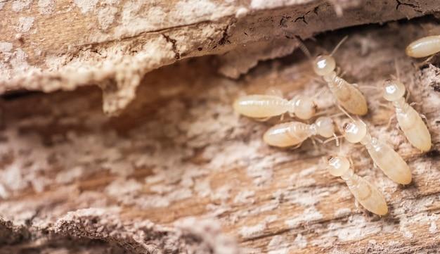 Feche acima, formigas brancas ou térmitas macro na madeira de decomposição.