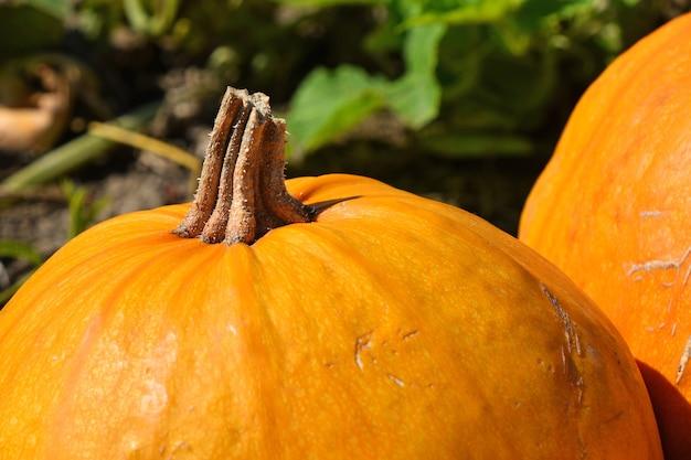 Feche as abóboras maduras crescendo no campo, prontas para a colheita na temporada de outono, vista de alto ângulo