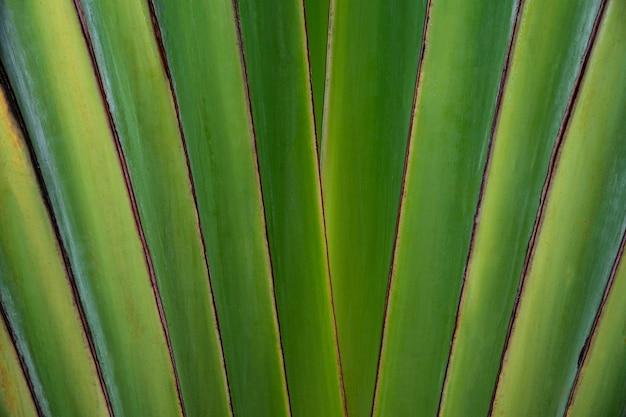 Feche as folhas em forma da palma da mão do viajante, folhas de fundo padrão da palma da mão do viajante.