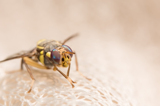 Feche as fotos de drosophila melanogaster
