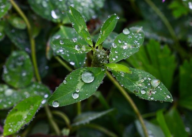 Feche as gotas de chuva ou orvalho nas folhas verdes do trevo, vista de alto ângulo