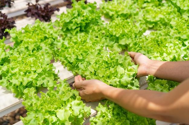 Feche as mãos da mulher segurando uma planta hidropônica. agricultura e conceito de alimentos