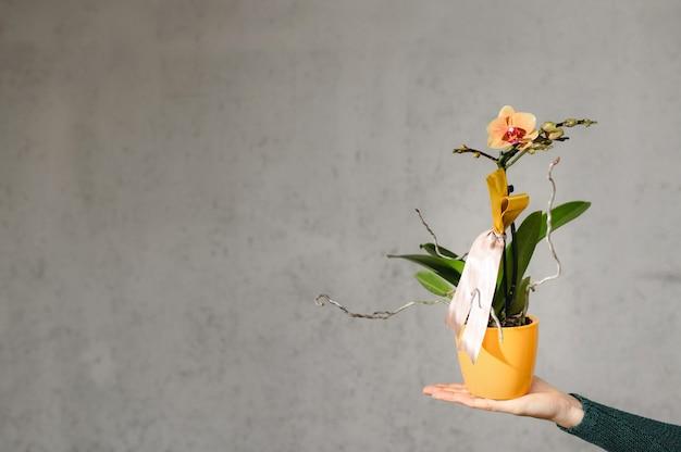 Feche as mãos de uma mulher segurando um vaso de orquídea amarela isolado