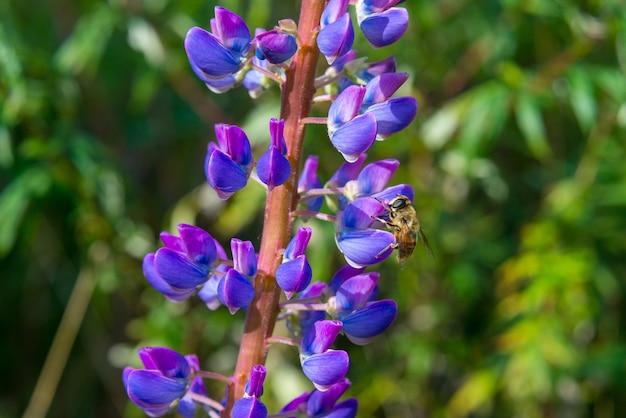 Feche de abelha coletando néctar de flores tremoço na primavera, califórnia.