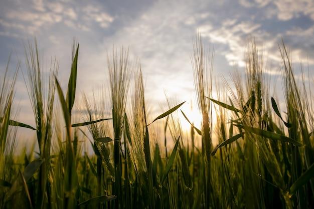 Feche de cabeças de trigo verdes crescendo em campos agrícolas na primavera.
