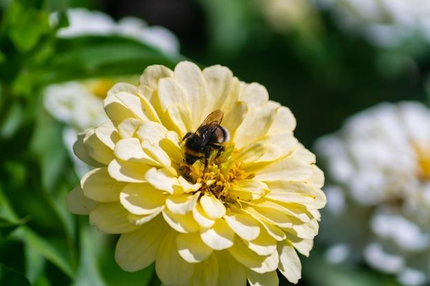 Feche de flor de zínia florescendo com abelha trapalhão pilinando uma flor.