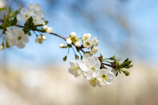 Feche de flores desabrochando brancas frescas em galhos de árvore.
