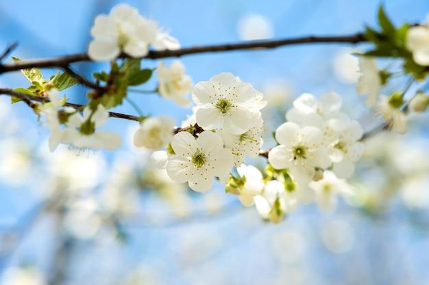 Feche de flores frescas desabrochando brancas em galhos de uma árvore com fundo de céu azul turva no início da primavera.