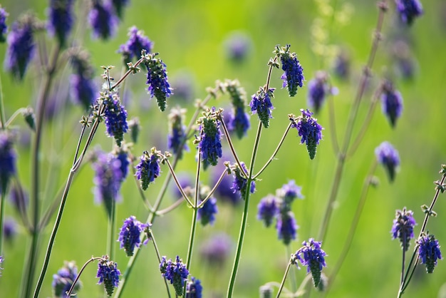 Feche de flores roxas de salvia nutans ou sálvia acenando no prado. foco seletivo
