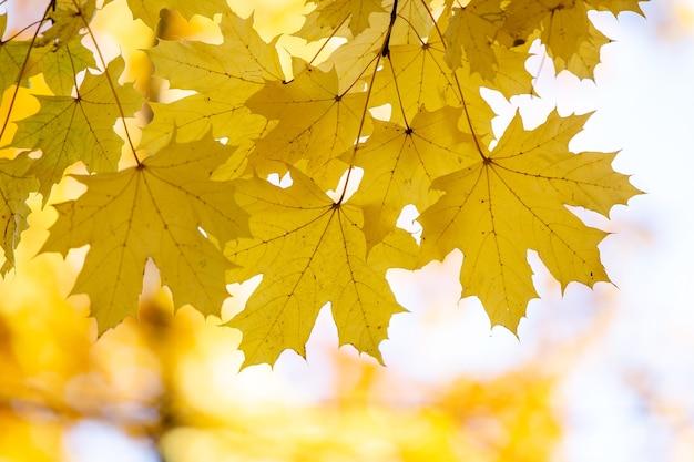 Feche de folhas de bordo amarelo e vermelho brilhante em galhos de árvores de outono com fundo desfocado vibrante no parque outono.