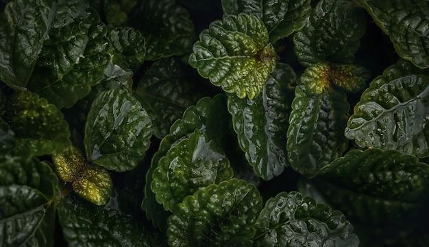 Feche de folhas verdes de greeping charlie (pilea nummulariifolia) para o fundo. fotografia macro.