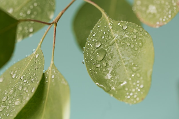 Feche de gotas de água sobre folhas verdes de eucalipto. tiro macro de folha bonita com gotas de chuva.