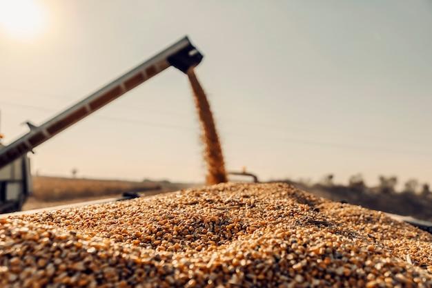 Feche de grãos de milho dourado no trator. no fundo desfocado, há uma máquina de separação de grãos. agricultura e colheita.