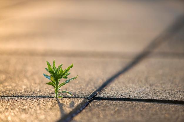 Feche de jovem pequena planta verde começando a crescer entre telhas de concreto na primavera. início do novo conceito de vida.